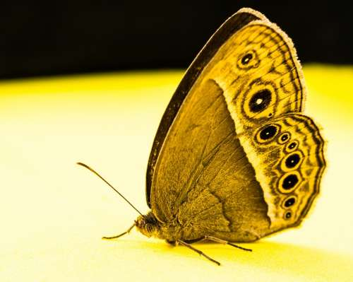 Butterfly Insect