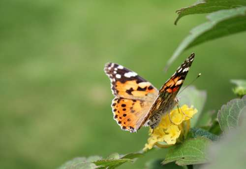 Butterfly Insect Nature Flowers
