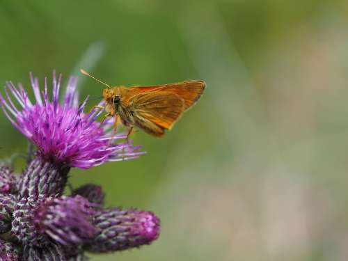 Butterfly Thistle Green Purple Plant