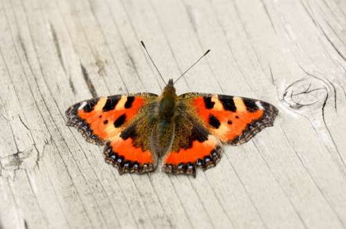 Butterfly Orange Nature Insect Wings