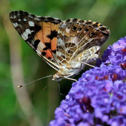 Butterfly Purple Insect Flower Pink Wing Bright