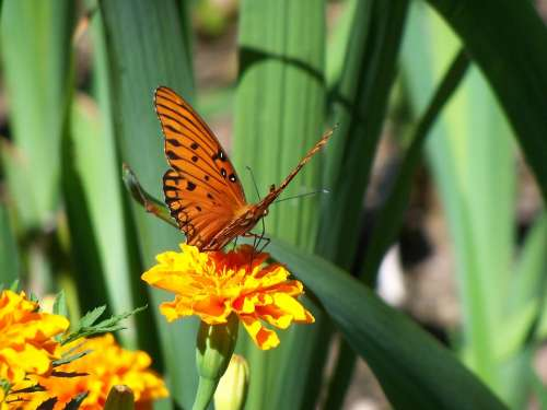 Butterfly Monarch Flower Summer Nature Insect