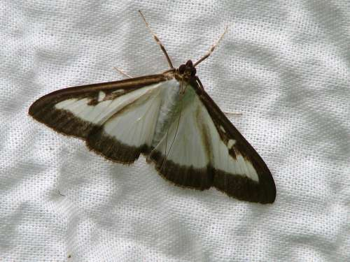 Butterfly Boxwood Borer White Black Fabric