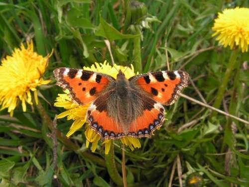 Butterfly Dandelion Flower M