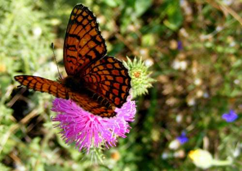 Butterfly Brown Yellow Flower Green Nature Grass