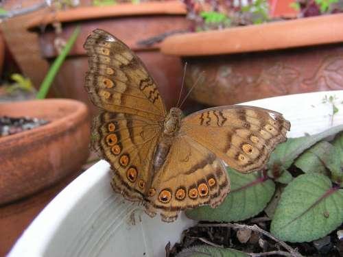 Butterfly Butterflies Australian Butterfly