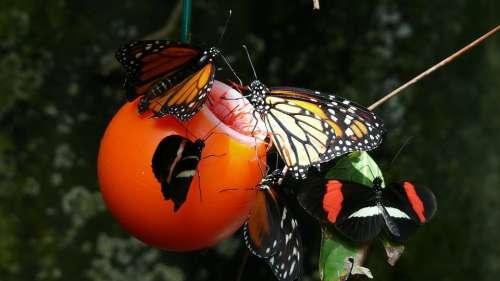 Butterfly Monarch Vancouver Aquarium