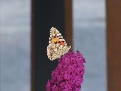 Butterfly Flower Pink Turkish Organ