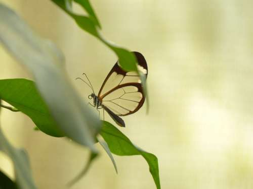 Butterfly Greta Oto Insect Animal Tropical Exotic
