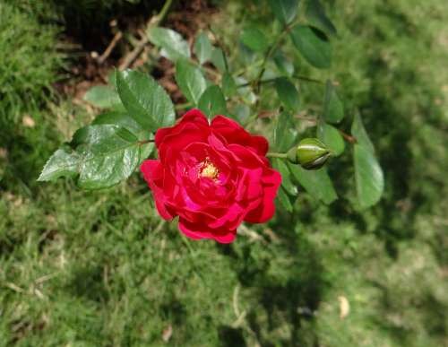Button Rose Flower Bud Leaves Dharwad India