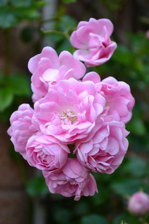 Button Rose Baby Pink Roses Floribunda Rambling Rose