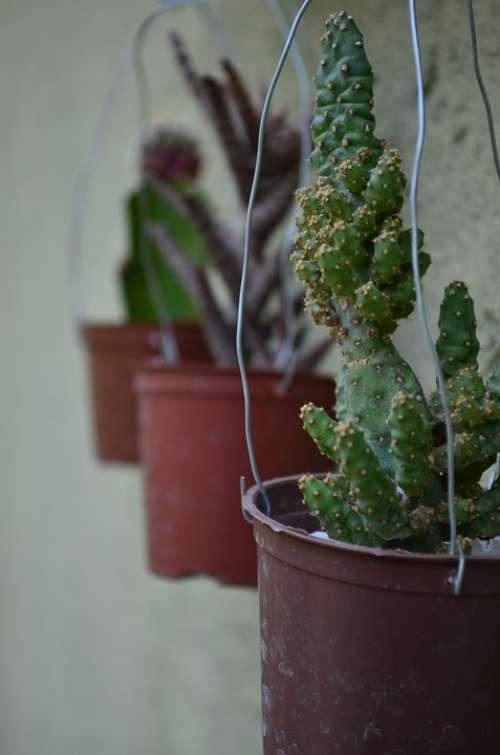 Cacti Green Garden Plant
