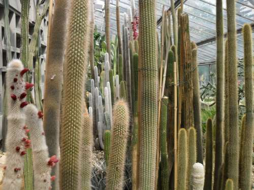 Cactus Many Greenhouse Long High