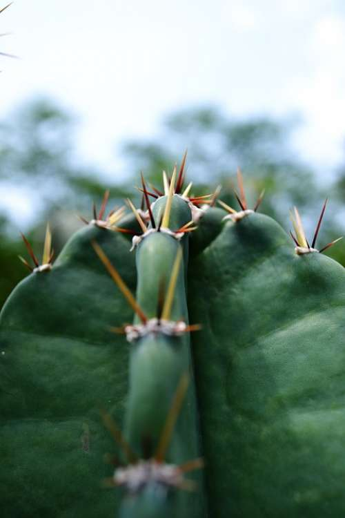 Cactus Dry Pines Desert Waterless Tough Rough