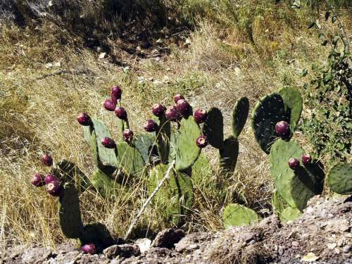 Cactus Nature Wild Plant Desert Hot Dry Arizona