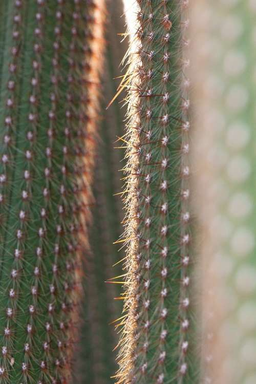 Cactus Cactaceae Prickly Rip Thorns Of Means Of