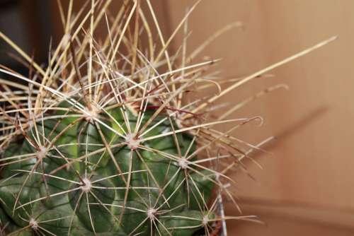 Cactus Plant Thorns Nature Close Up