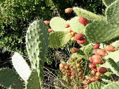 Cactus Summer Fruit Tzabar Barb