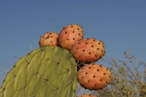 Cactus Close-Up Fruit Plant Botany Cacti