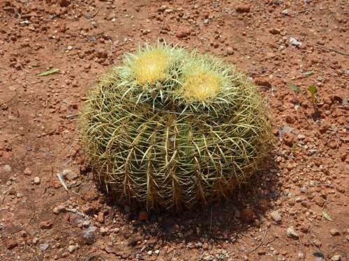 Cactus Ball Cactus Cactus Greenhouse Green Spur