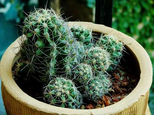 Cactus Cacti Plant Potted Plant Pot