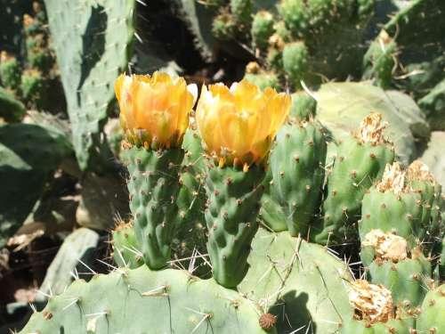 Cactus Cactus Blossom Plant Sting Prickly Blossom