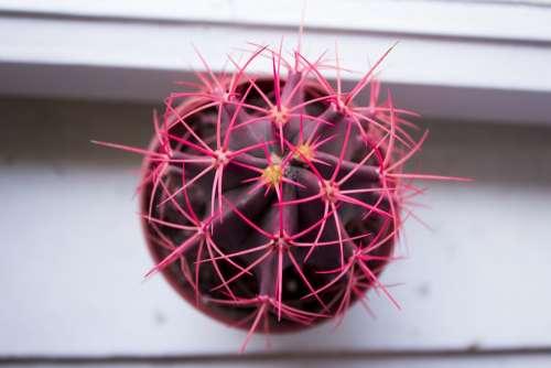 Cactus Thorn Pink Plant Beauty Color Flora