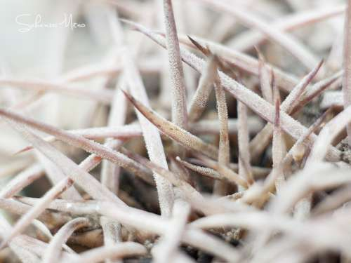 Cactus White Light Morning Detail Spines