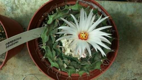 Cactus Flower Thorns Flora Nature Obregonia