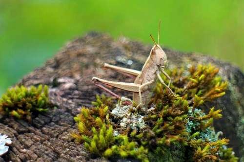 Caelifera Grasshopper Field Grasshopper