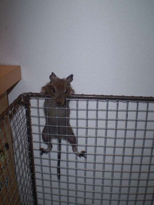 Cage Degu Table Wall