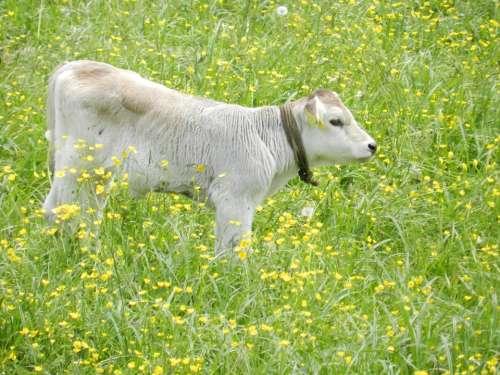 Calf Cows Nature