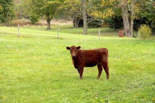 Calf Cow Brown Cow Farm Farm Animal Bovine