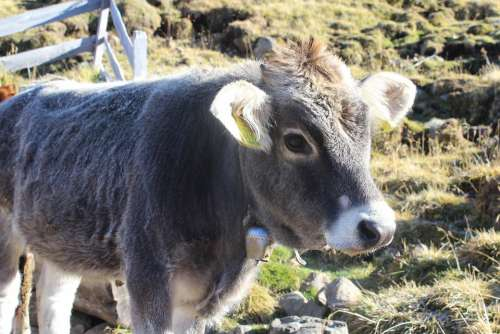 Calf Cow Beef Grey Cowboy Animal Agriculture