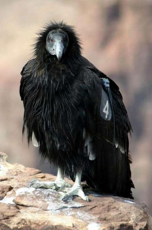 California Bird Condor Birds Animals Fauna