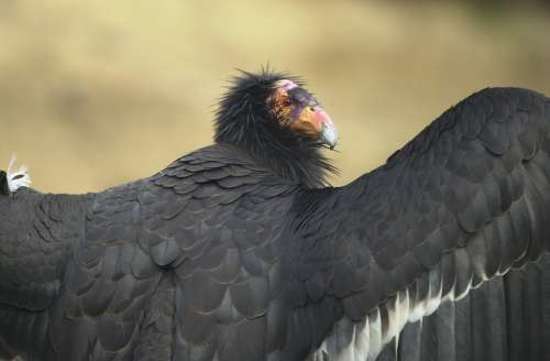 California Adult An Portrait Bird Condor Birds