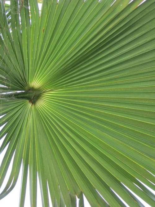 California Washingtonpalme Palm Fronds Palm