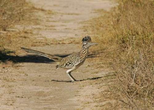 Californianus Geococcyx Still Standing Bird
