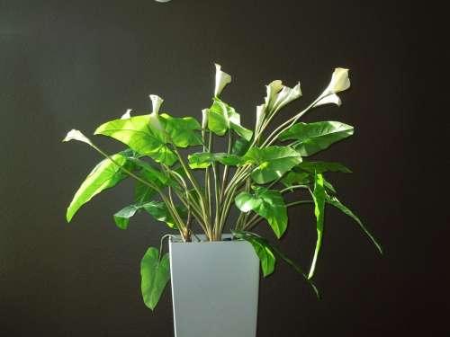 Calla Calla Lily Lily Flower Bloom Nature White