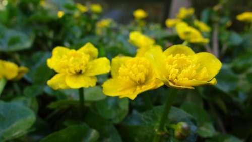 Caltha Palustris Pond Plant Yellow Nature Plant