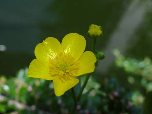 Caltha Palustris Pond Pond Plant Yellow