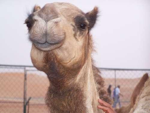 Camel Desert Transportation Dubai