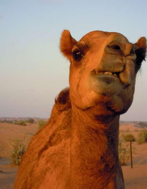 Camel Animal Dubai Desert Safari Sand