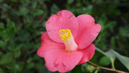 Camellia Camellia Japonica Tea Tree Plant