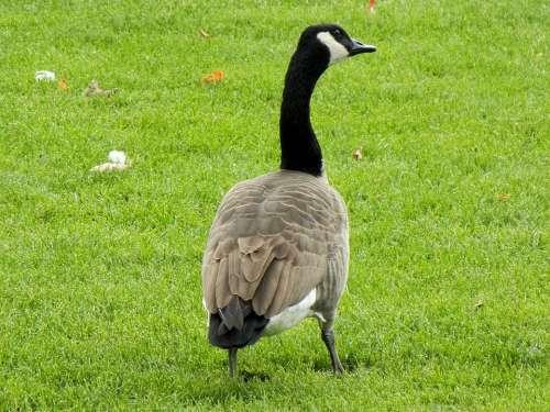 Canada Geese Goose Ontario Canada