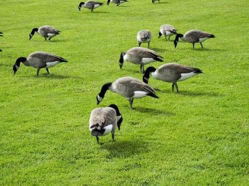 Canada Geese Feeding Grass Canada
