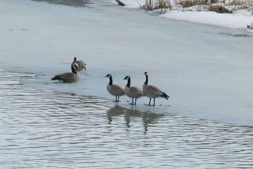 Canada Geese Birds Water Birds Animals Feathered