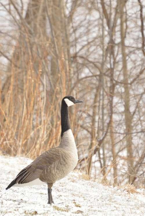 Canada Goose Niagara River Winter Snow Bird