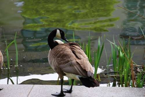 Canada Goose Goose White Green Water Pond Bird