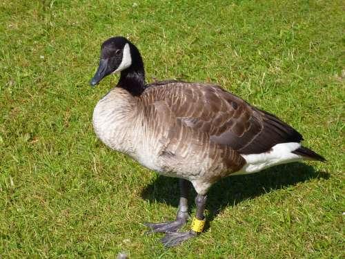 Canadian Goose Water Bird Animal World Nature